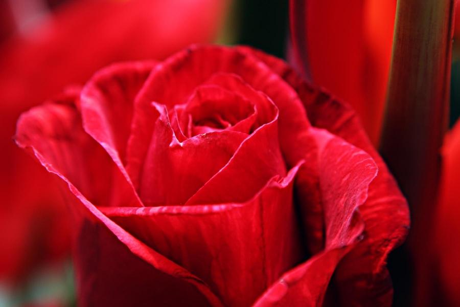 A rózsa, mint szimbólum – színek és választások